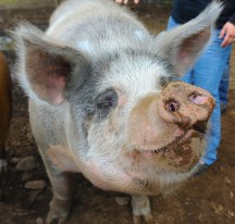 Patty the pig's closeup at Springdell Farm. Photo by Tory Germann.