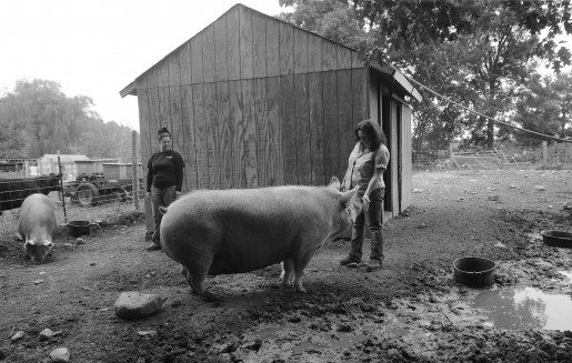 Patty, a 1,000-pound pet pig seeks a pet from Paula Cruz at Springdell Farm. Photo by Tory Germann.