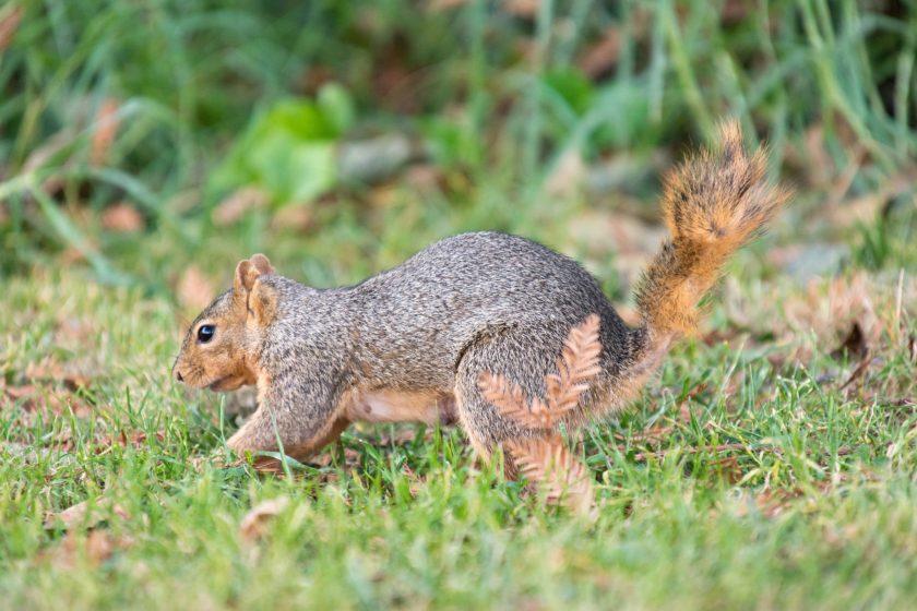 Squirrel burying a nut