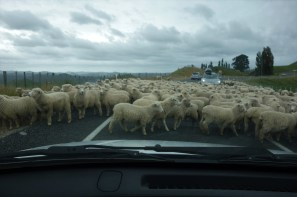 Stuck behind a sheep muster on the way to Tongariro National Park
