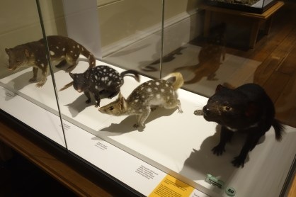 Taxidermy Tasmanian Devil and Quolls in the Tasmanian Museum & Art Gallery
