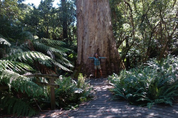 Evercreech Forest Reserve - giant gum trees (The White Knights)