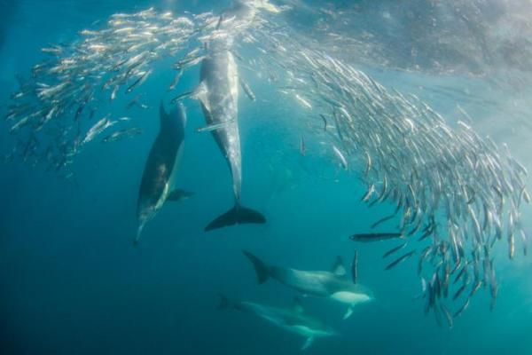 تزاوج وتربية الدلافين: ماذا تأكل الدلافين؟