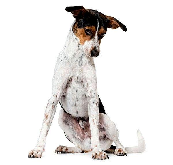 17 лучших пятнистых пород собак — Список фотографий — Сайт ...