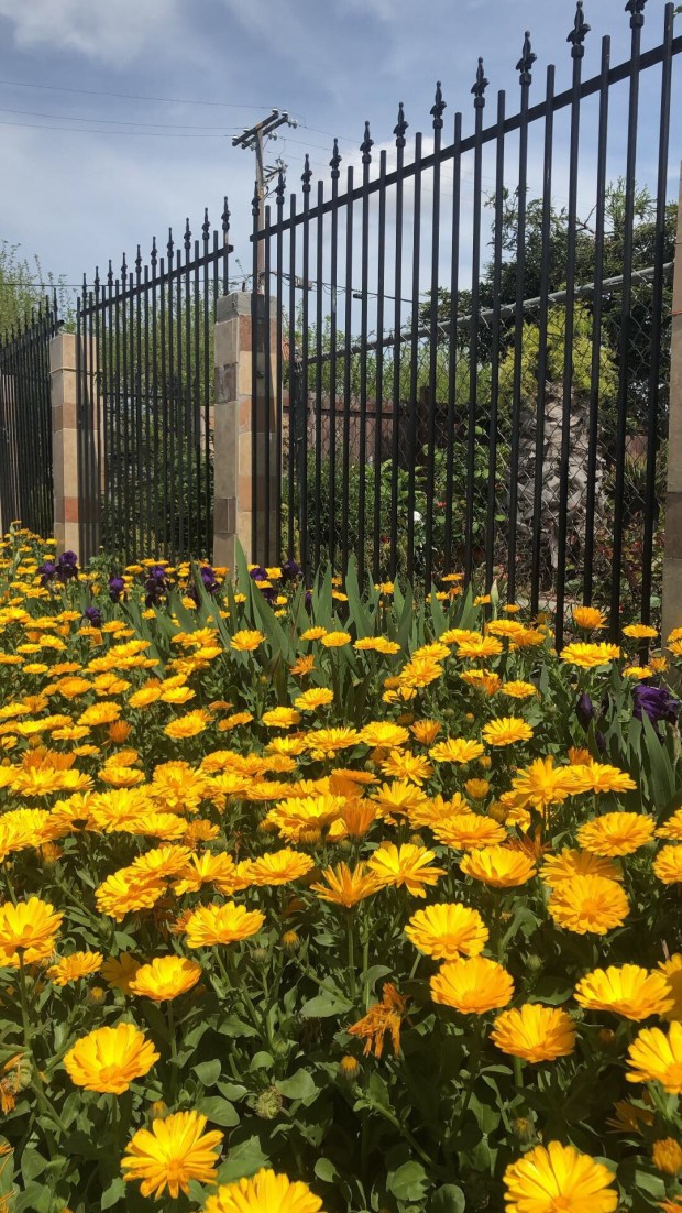 A bed of yellow daisies along the sidewalk