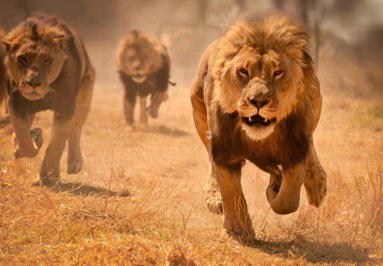 Lions on the race