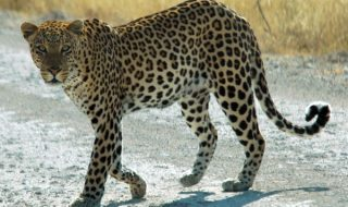 leopard roaming the street