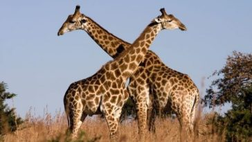 Two South African Giraffes