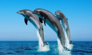 South African Researchers Use Software Io Identify Dolphin Species