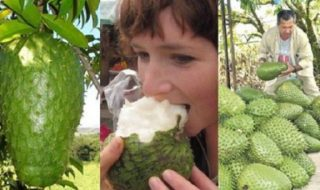 Guanabana or soursopand