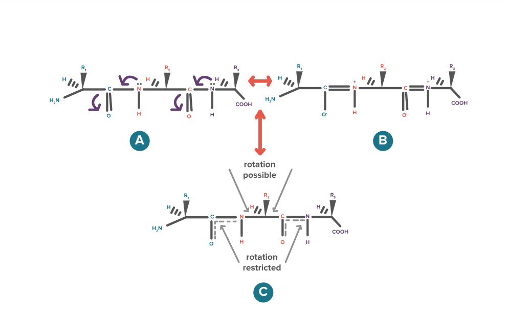 The Ultimate Guide to Proteins Part 1: Functions
