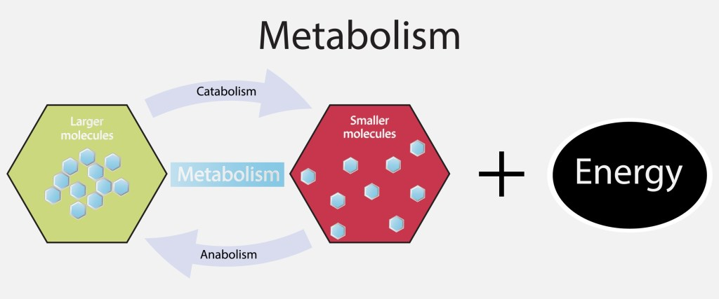 Metabolism Energy
