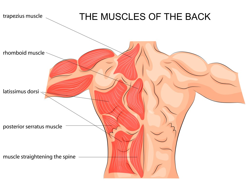 Muscles of the Back daigram