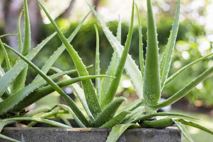 Aloe Vera for PCOS