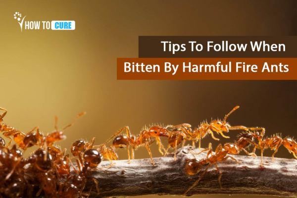 Tips To Follow When Bitten By Harmful Fire Ants