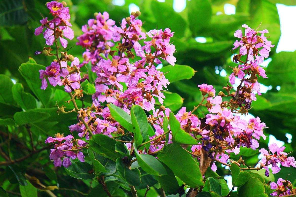 banaba for kidney health