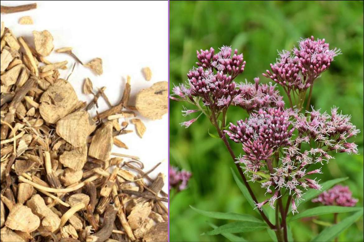 gravel root herb for kidney