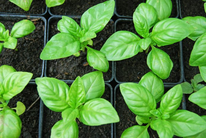 sweet-basil-oil for migraines