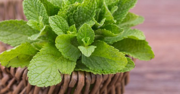 mint leaves for curing itchy skin rash