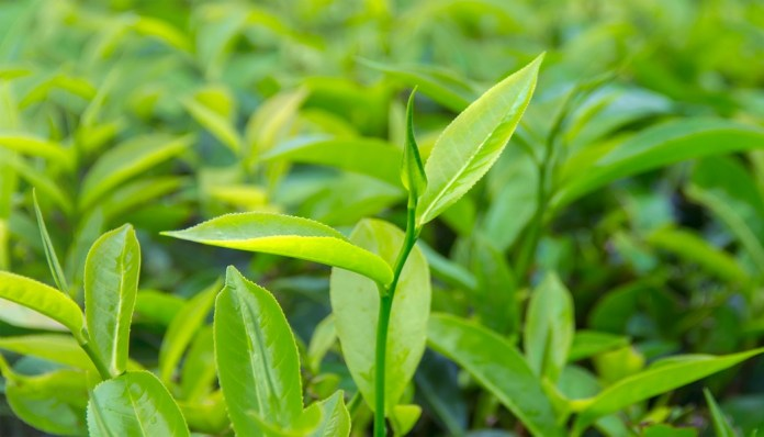 tea tree essential oil for get rid of cystic acne