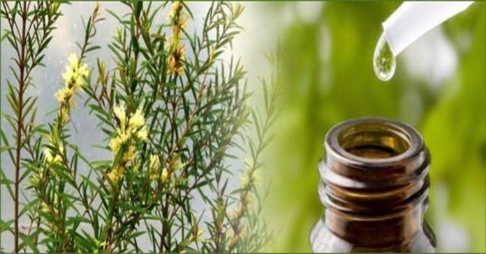 tea tree essential oil for staph infection