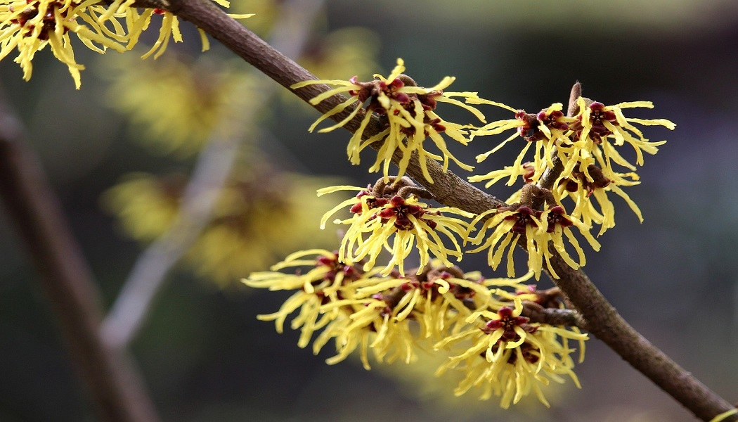 witch hazel for treat bruises