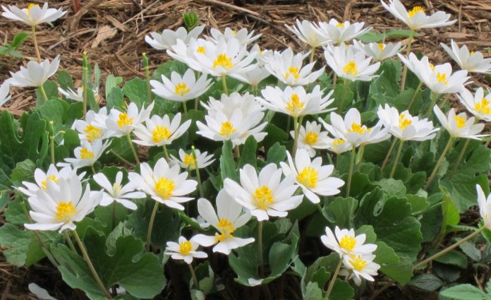 bloodroot to cure skin tags