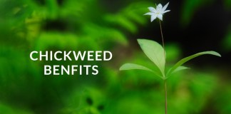 chickweed benfits