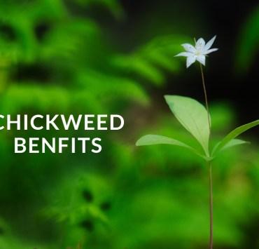 chickweed benfits