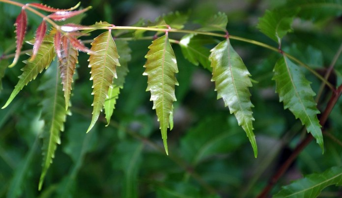neem leaves to get rid of hormonal acne