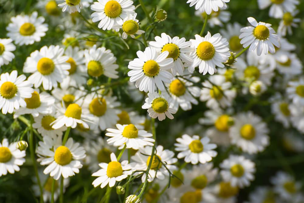 chamomile benefits