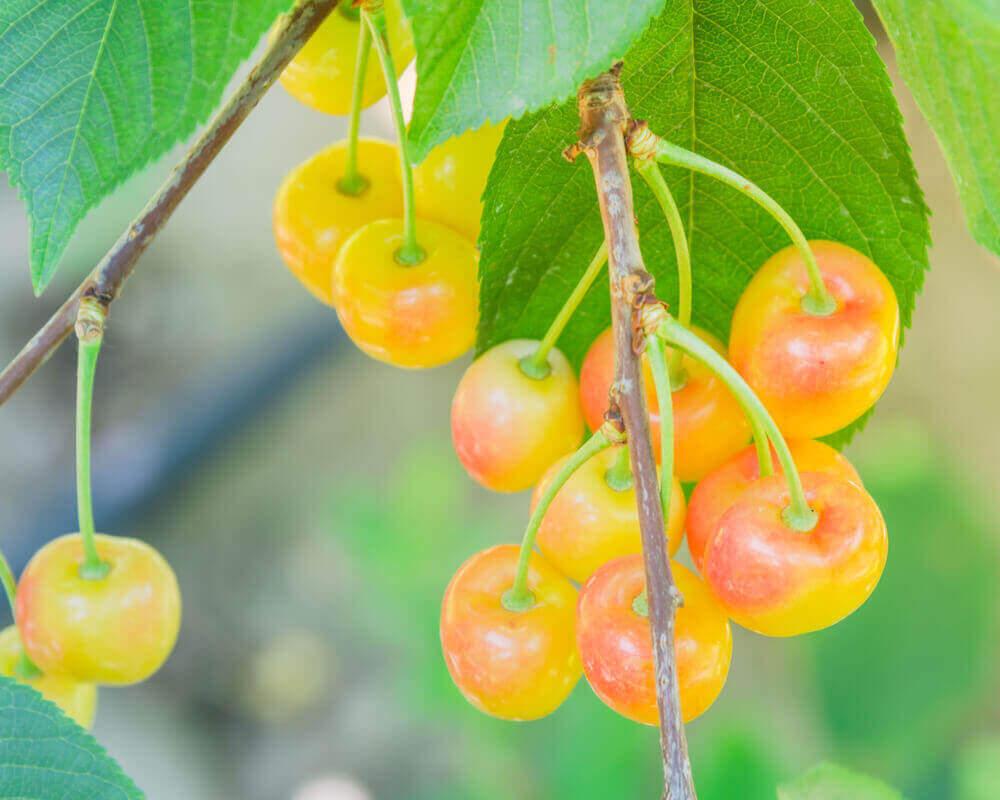 Yakima Fruits