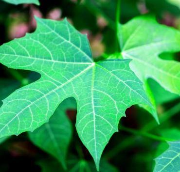 Benefits Chaya Plant