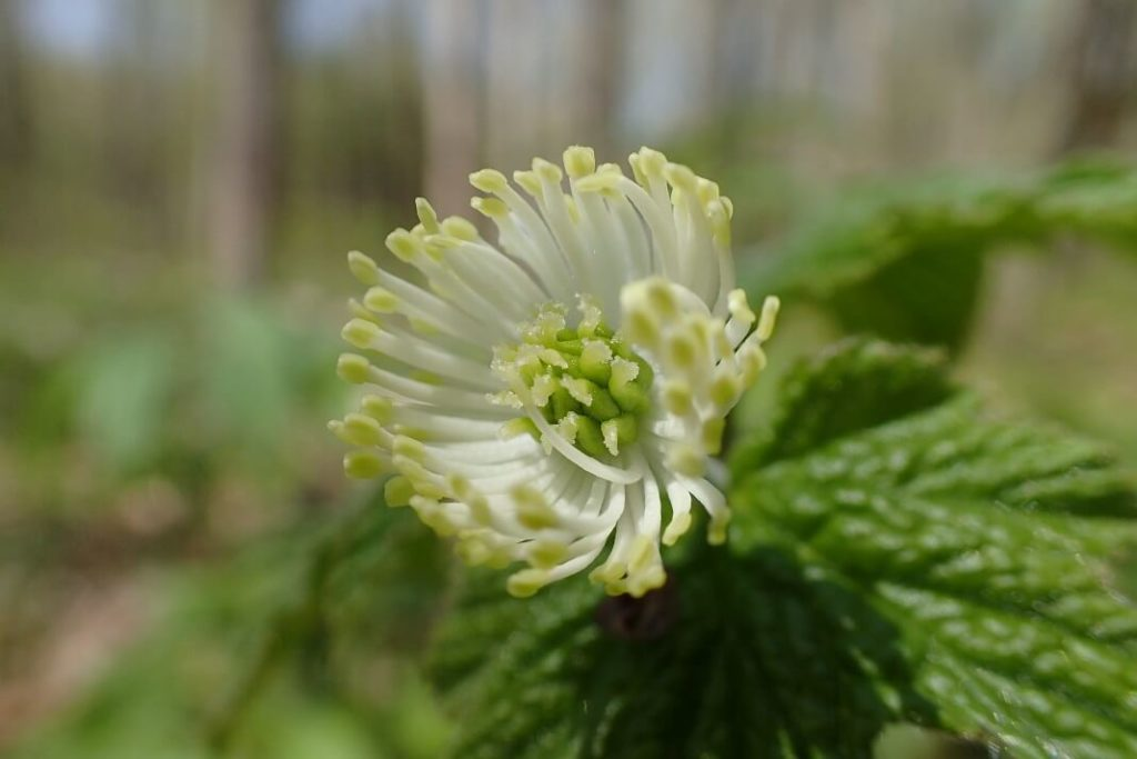 goldenseal benefits