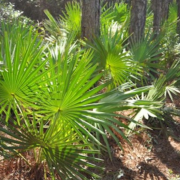 saw palmetto for prostate