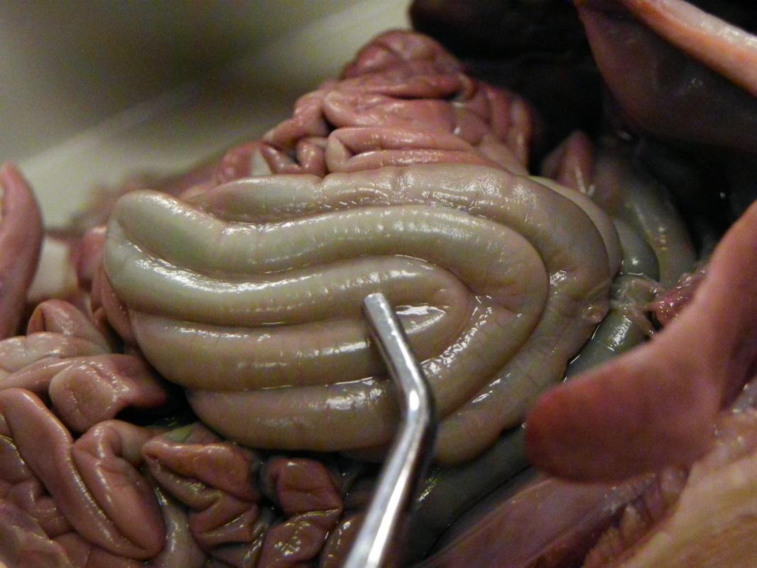 Fetal Pig Pulmonary Veins