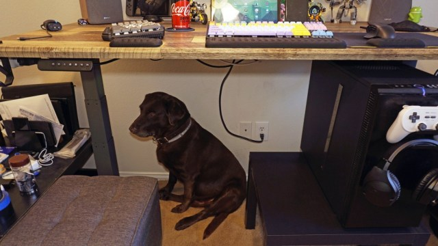Dog underneath Vari standing desk