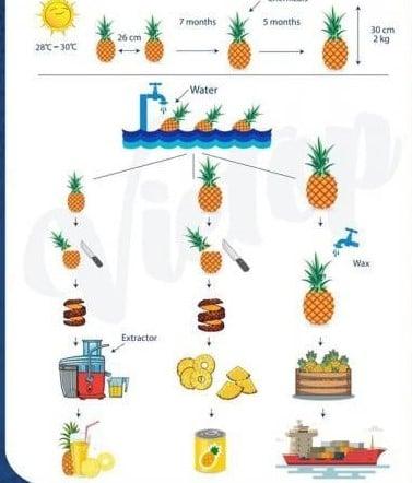 ielts essay pineapples process