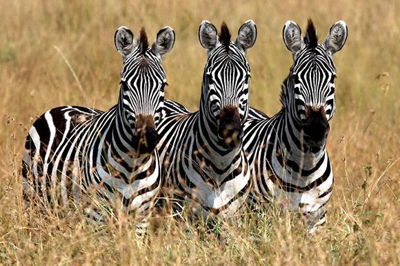 Do zebras eat meat
