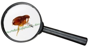 What Do Fleas Look Like What Does A Flea Look Like With Pictures How To Get Rid Of Flea On Dogs On Cats And In The House