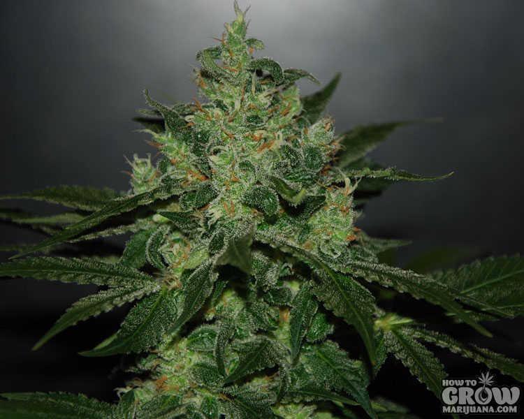 Best System Cannabis Grow