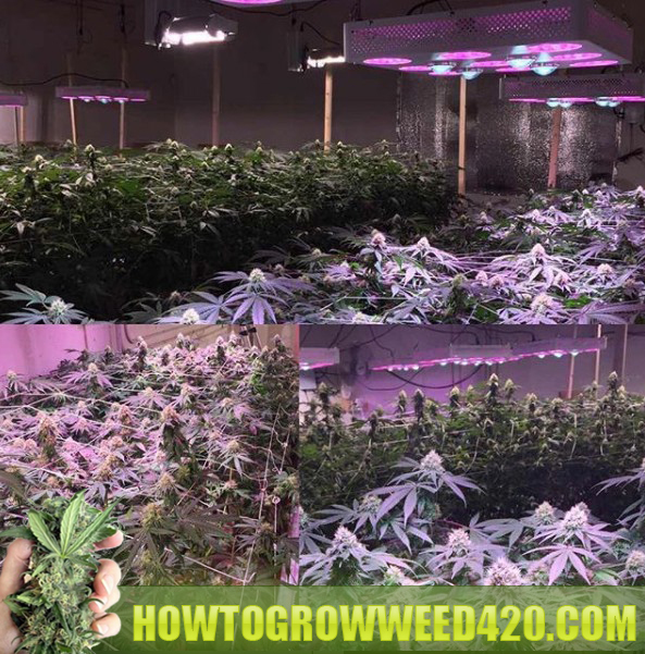 growing cannabis with an LED grow light