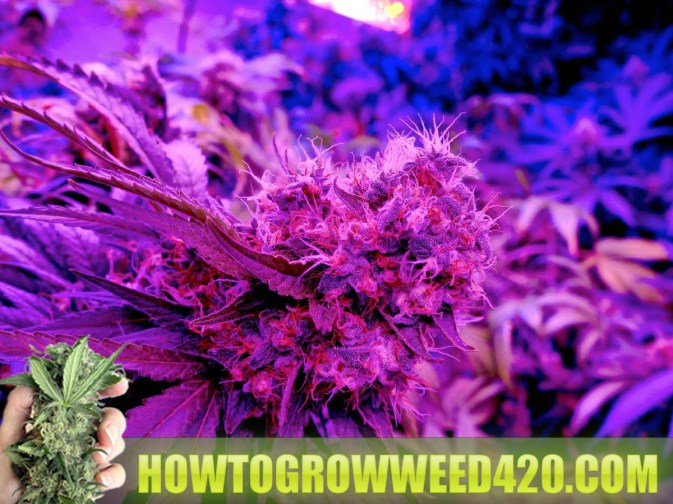 how much can I yield with LED lights growing marijuana weed