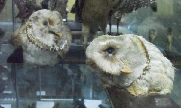 Owls in Trujillo Zoological Museum