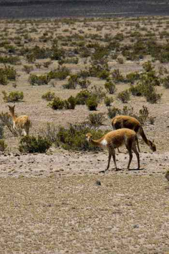 Vicuna vs Guanaco What is the Difference