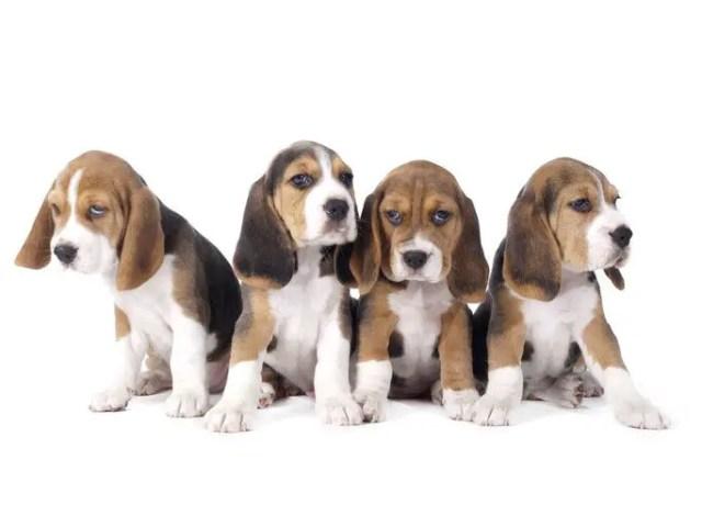 do beagles shed a lot?