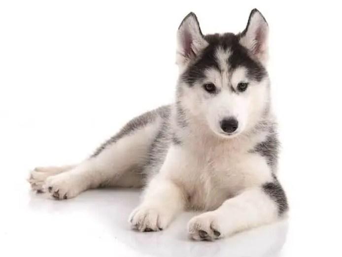 husky dog origin