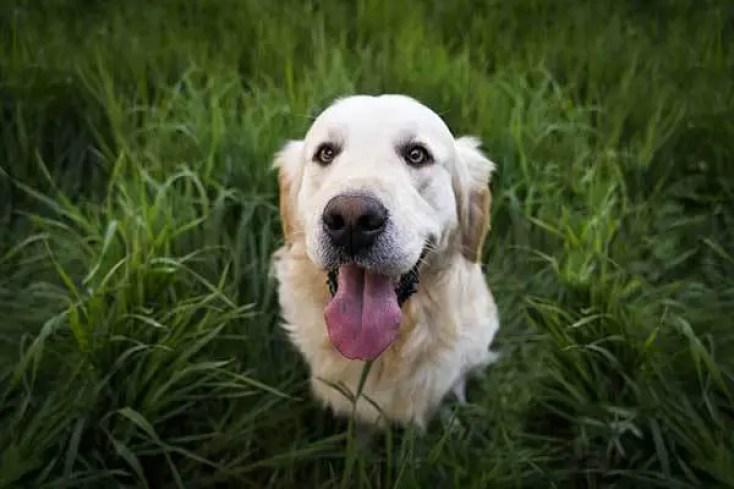 Golden Retriever Dog In Grass