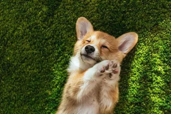 happy cute corgi puppy