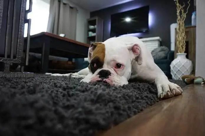 lazy boxer dog on carpet